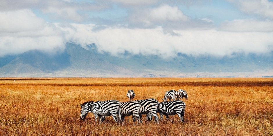 Zèbres-au-Ngorongoro-en-Tanzanie