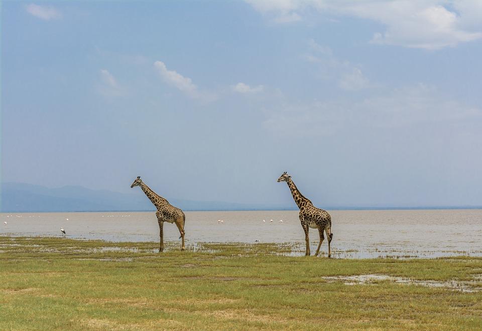 Les girafes profitent du lac