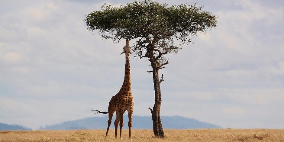 La girafe profite aussi de sa journée !