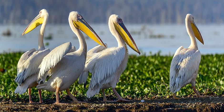 Pelicans dans le Lac Navaisha